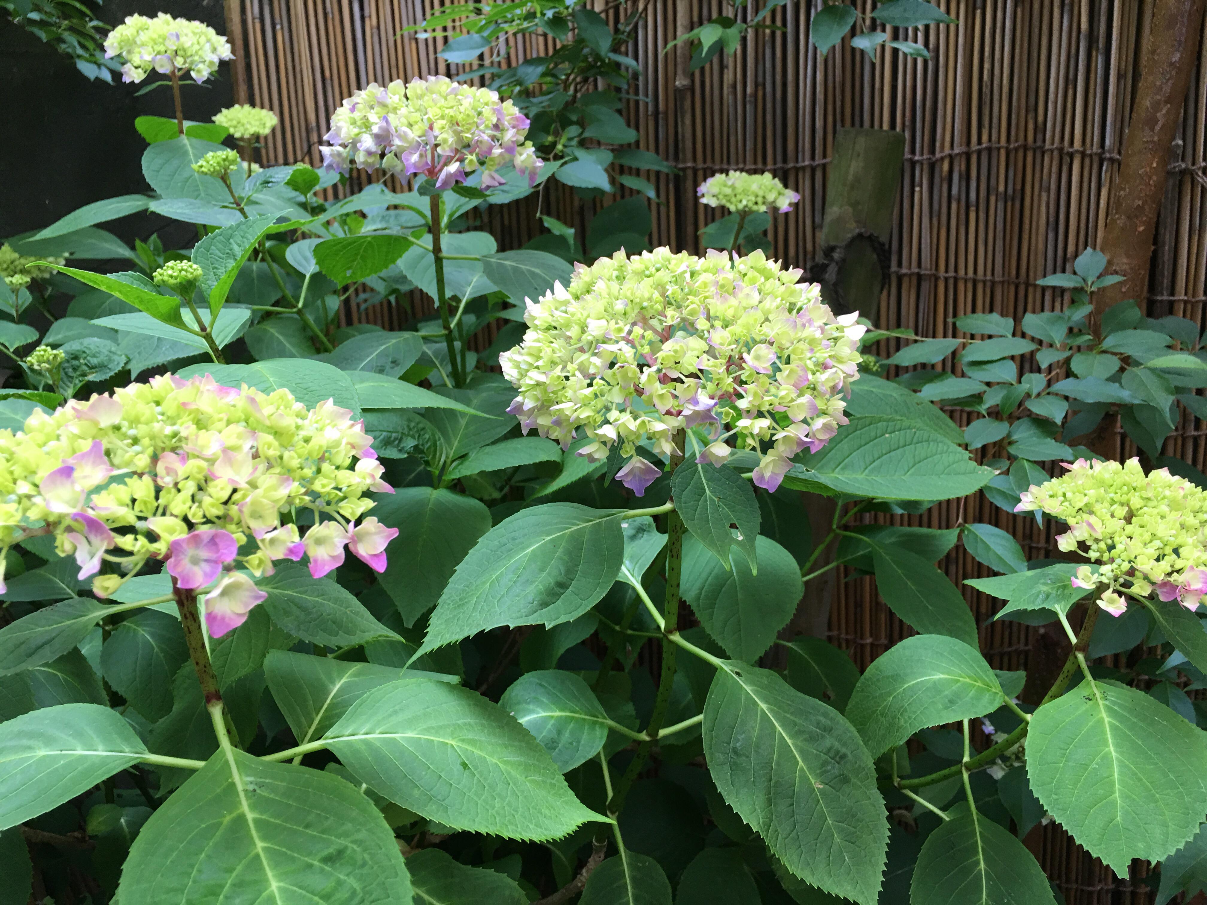 紫陽花が咲き始めましたよ【本格的睾丸マッサージとタイ古式マッサージ JK】
